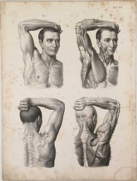 Anatomy Engraving: Male Arm and Shoulder Engraving 1854