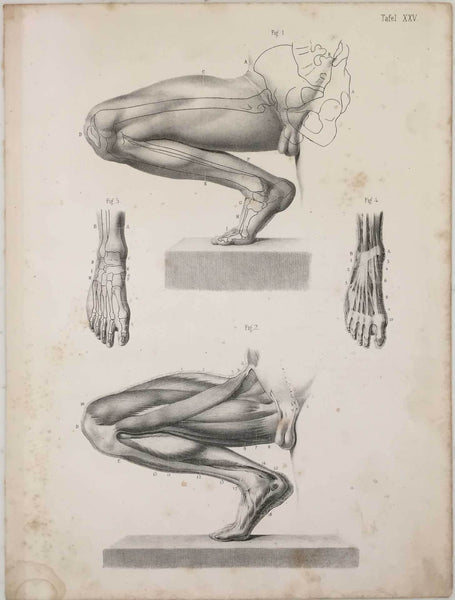Anatomy Engraving: Male Leg and Feet Vintage engraving 1854