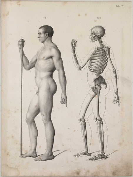 Anatomy Engraving: Male Skeleton