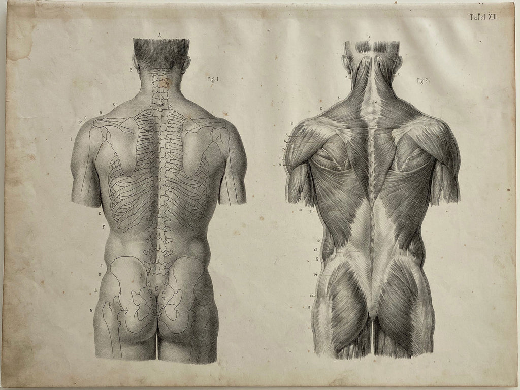 Anatomy Engraving: Male Body Back View Vintage Engraving 1854