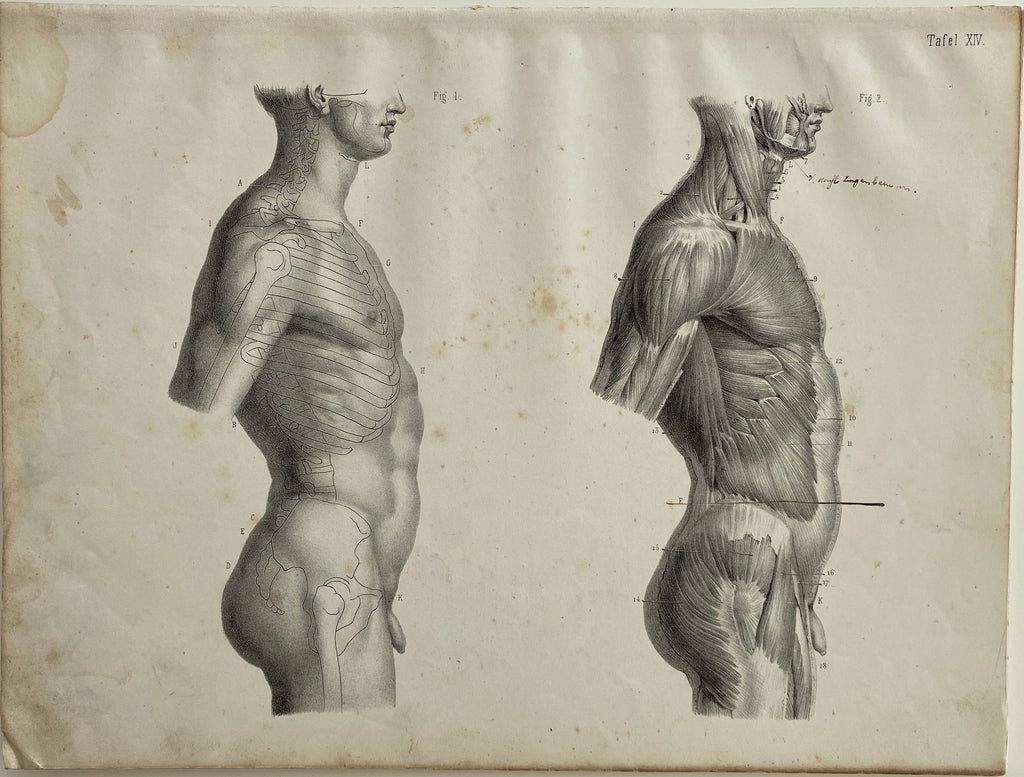 Anatomy Engraving: Male Body Side View Vintage Engraving 1854
