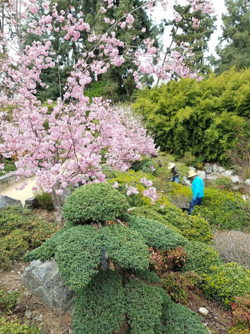Huntington Gardens Cherry Blossom 2017
