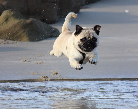 puppy jumping into ocean
