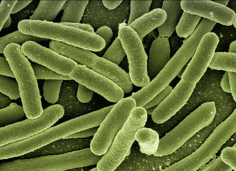 gut microbiome bacteria
