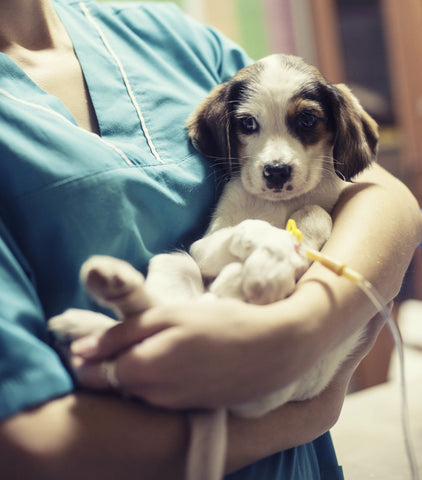 puppy with parvo receives fecal transplant treatment
