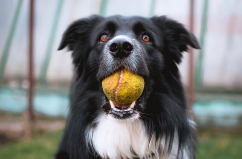 Dog Outside Playing with Ball