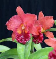 Blc. Chialin 'New City' mericlone - 80mm pot