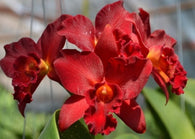 Cattleya Jewel Red 'Shinzu' mericlone - 80mm pot