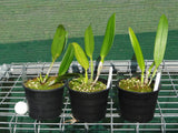 Blc Greenwich seedling - 130mm pot