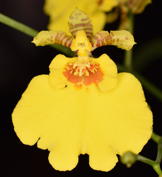 Oncidium Sweet Sugar 'CT Wide'