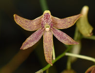 Dendrobium (Dockrillia) Kingfisher Ginger seedling - 80mm pot