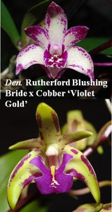 Dendrobium Kingfisher Princess seedling - flowering size, 80mm pot