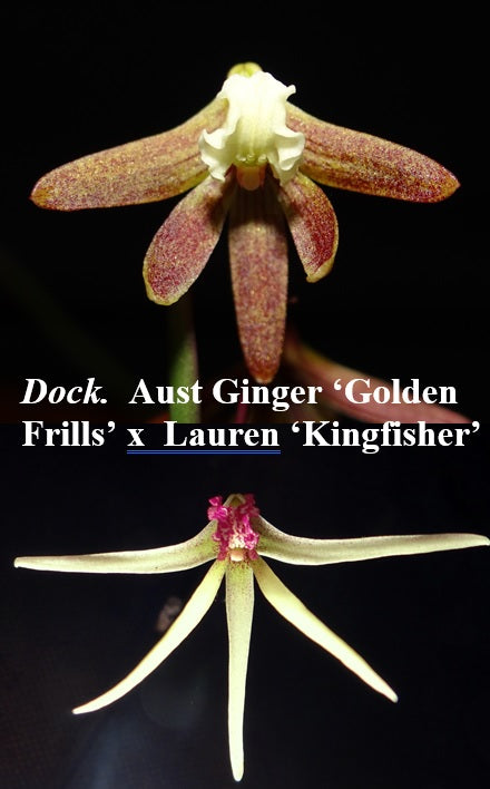 Dendrobium (Dockrillia) Wickersham (Australian Ginger 'Golden Frills' x  Lauren 'Kingfisher')