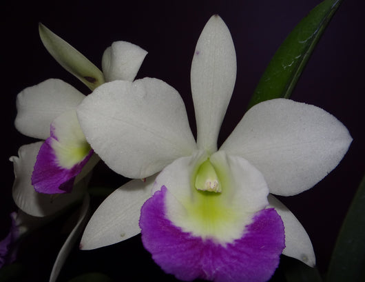 Cattleya Bc. Hawaii Stars 'Hsinying' 80mm pot