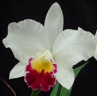Rlc. Hsinying Catherine seedling 80mm pot