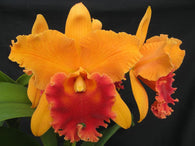 Rlc. Linda Fisk 'Casey' - Cattleya Orchid near flowering size 125mm pot