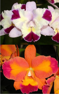 Cattlianthe Alsaks Pattern (Mari's Song 'CTM-217' x Ctt Aussie Sunset 'Cosmic Fire')
