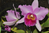 Cattleya Rlc. Pink Diamond 80mm seedling