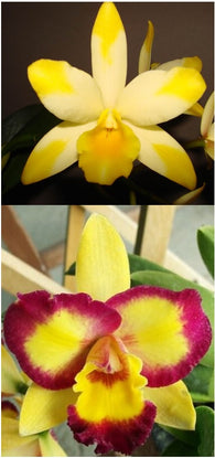 Rlc. Rosella's Diamond seedling (Ctt. Highland Bauble x Rlc. Shin Shiang Diamond)