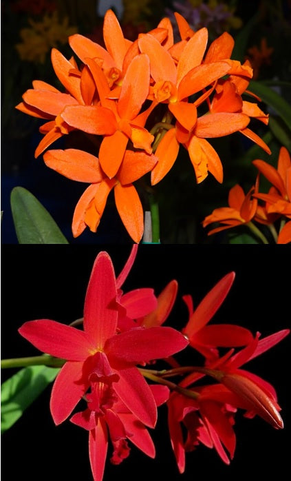 Ctt. Trick or Treat x Hsiang-Yu Red Pearl 'Red Dragonfly'