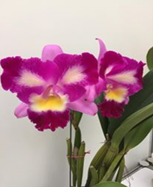 Rlc. Chief Dancer 'Chief Cat'