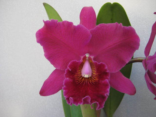 Cattleya Pirate King 'Port Wine' mericlone 80mm pot