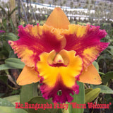 Rlc. Rungnapha Fancy 'Warm Welcome' mericlone