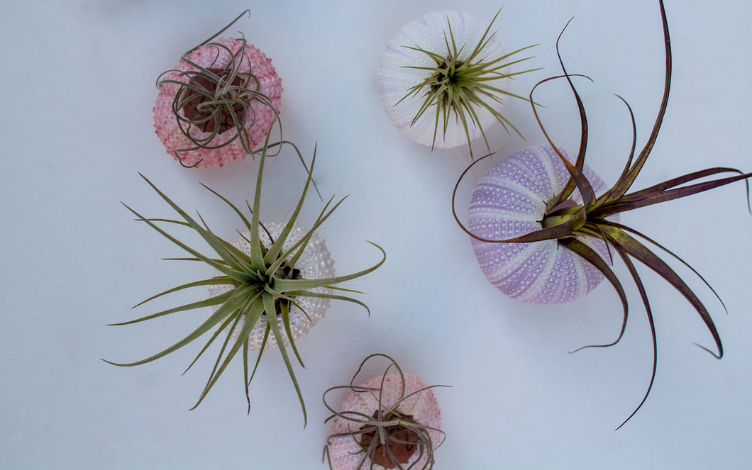 Mini Air Plant Urchin
