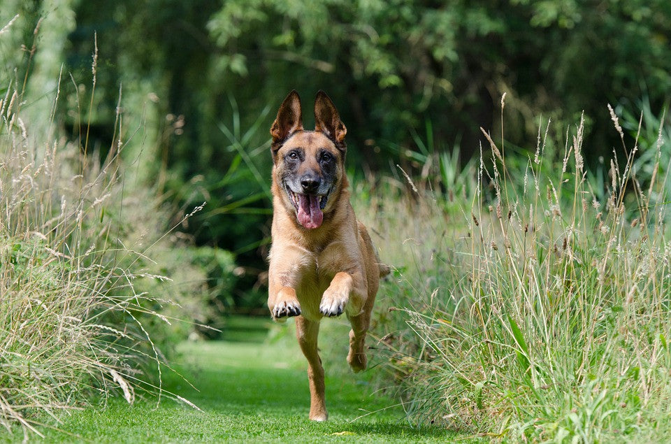 Operant Conditioning in Dogs