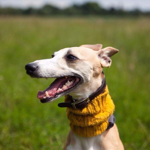 Dog Snood - English Mustard