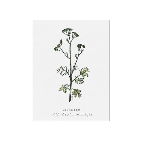 Cilantro Herb Illustration by November Fields