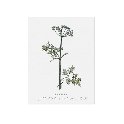 Parsley Herb Illustration by November Fields
