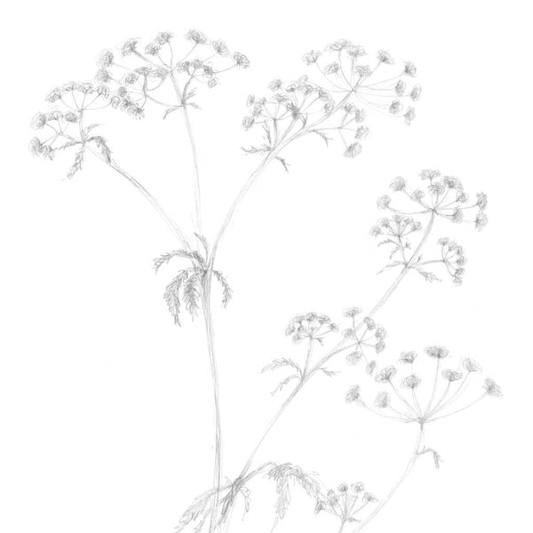'Cow Parsley' Art Print