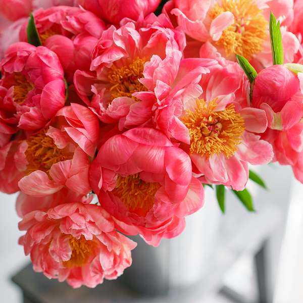 Coral Peonies for Thanksgiving