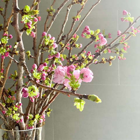 Seasonal Blossoming Cherry Branches