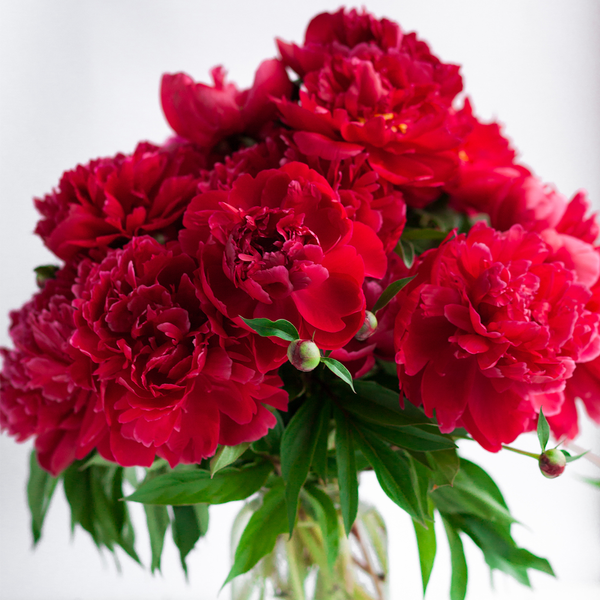 Invited Blooms: Red Peonies for Independence Day