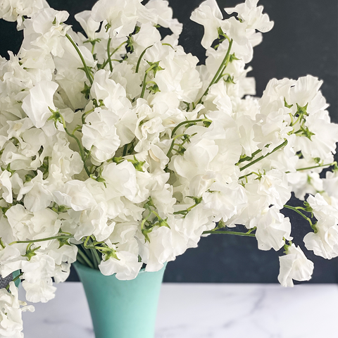 Elegant White Sweet Peas from Japan