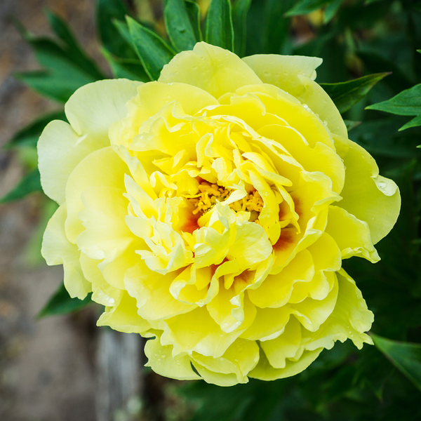 Invited Blooms: Yellow Peonies