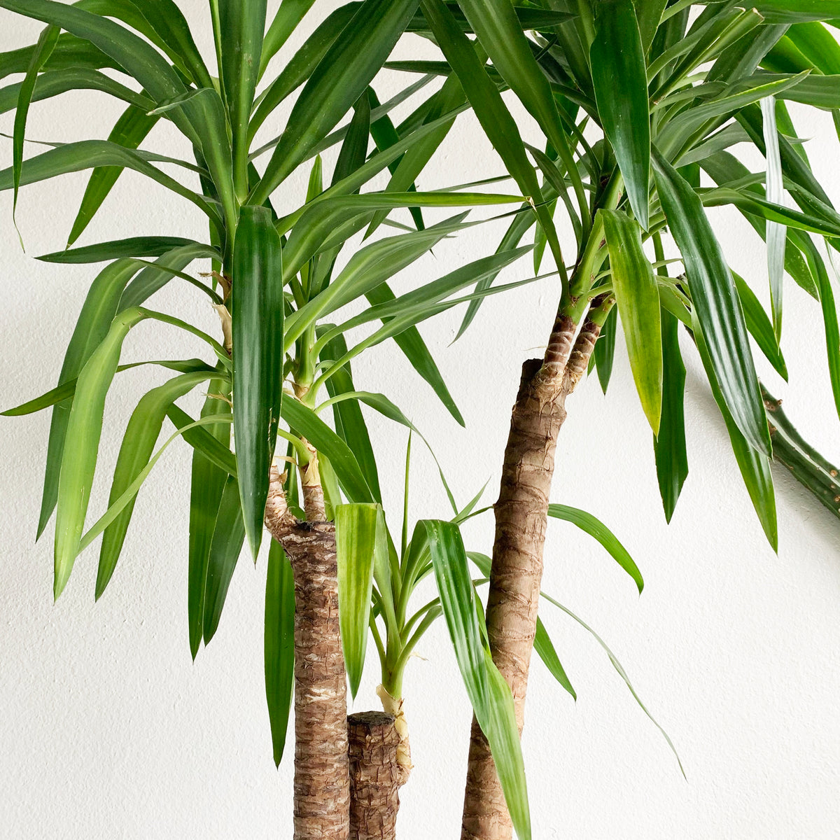 "Yucca Cane in 10"" Pot. LOCAL delivery or pick- up only"