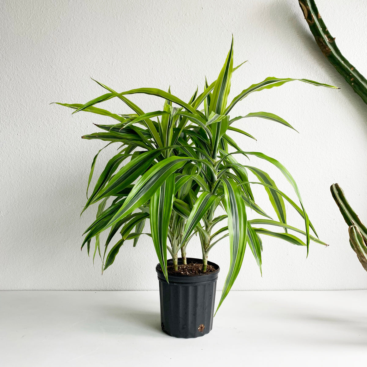 "8"" Dracaena Dragontree 'Lemon Lime'"