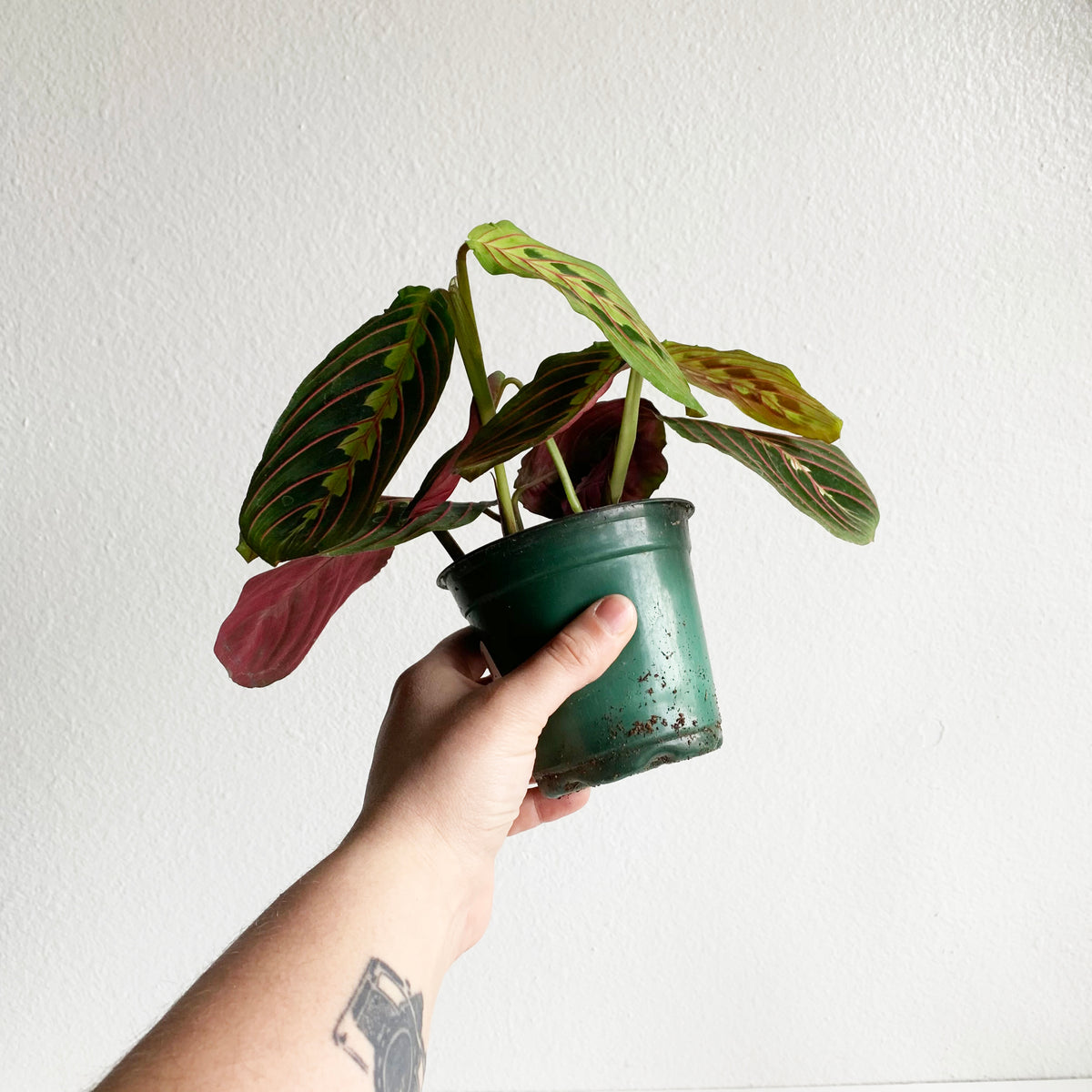 "4"" Prayer Plant Pink Vein"