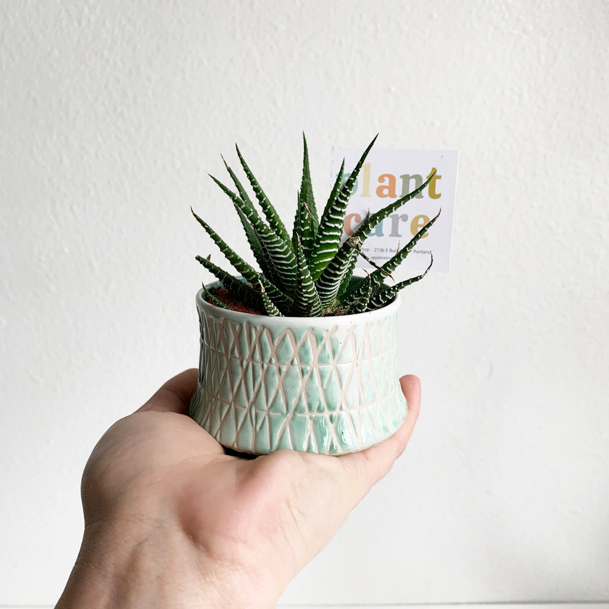 Tiny Potted Haworthia