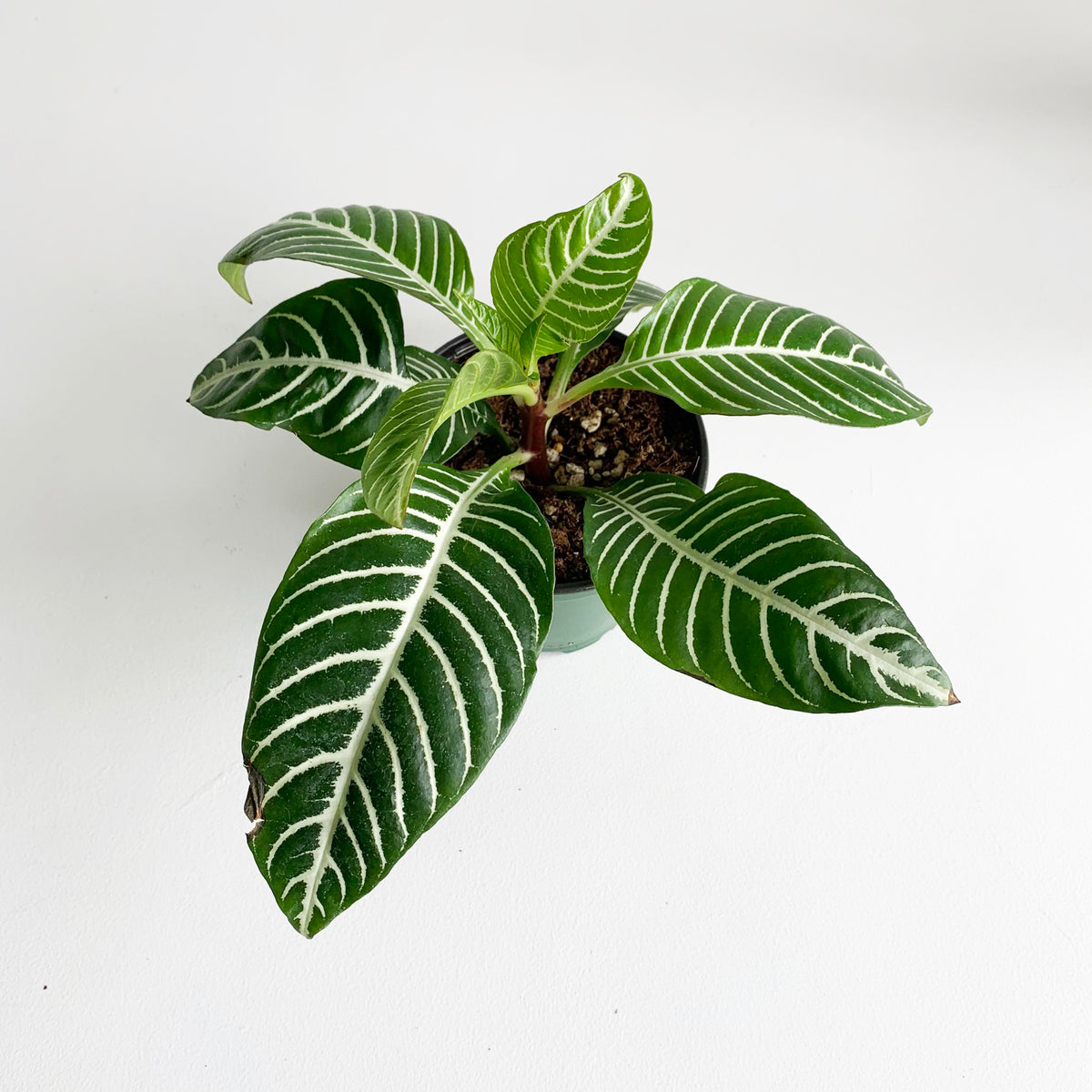 "Zebra Plant in a 4"" Pot **LOCAL Delivery or Pick-Up Only**"