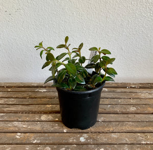 "Goldfish Plant in 4"" Pot LOCAL delivery only"