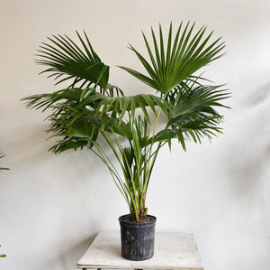 "10"" Chinese Fan Palm"