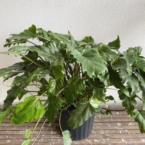 "Philodendron Enzie in 10"" Pot.  LOCAL delivery or Pick-Up only"