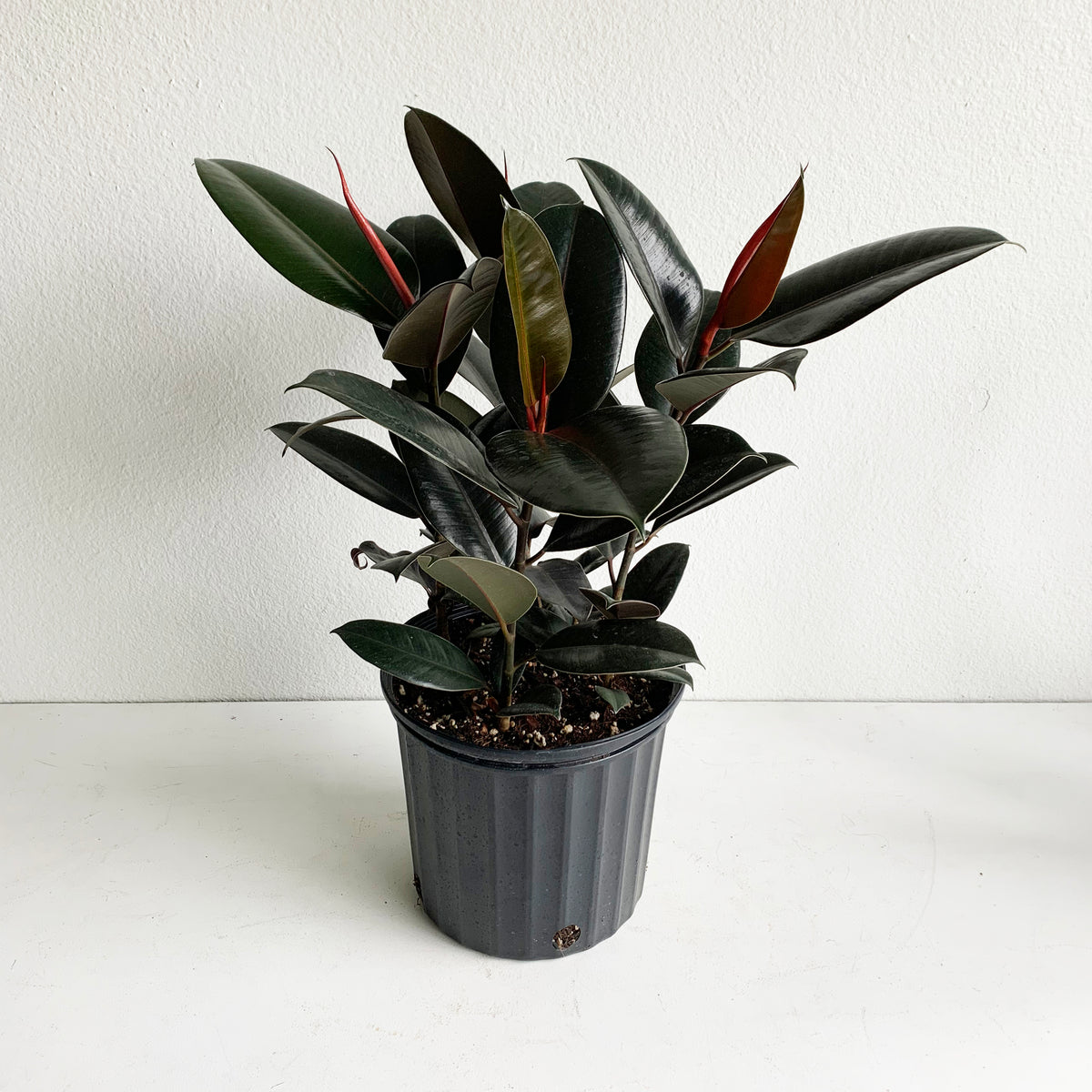 "10"" Ficus Rubber Tree ""Burgundy"""
