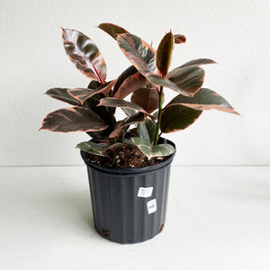 "Ficus Rubber Tree- ""Ruby"" in 10"" Pot. LOCAL delivery only"