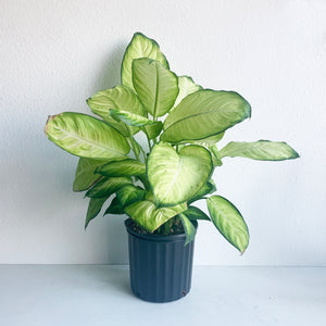 "Dieffenbachia in 10"" Pot **LOCAL PICKUP OR DELIVERY ONLY**"