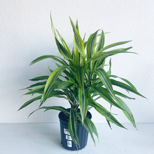 "Dracaena Dragontree 'Lemon Lime' in 8"" Nursery Pot **LOCAL PICKUP OR DELIVERY ONLY**"